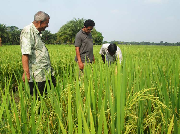 Successful mixed cropping of rice with Jute