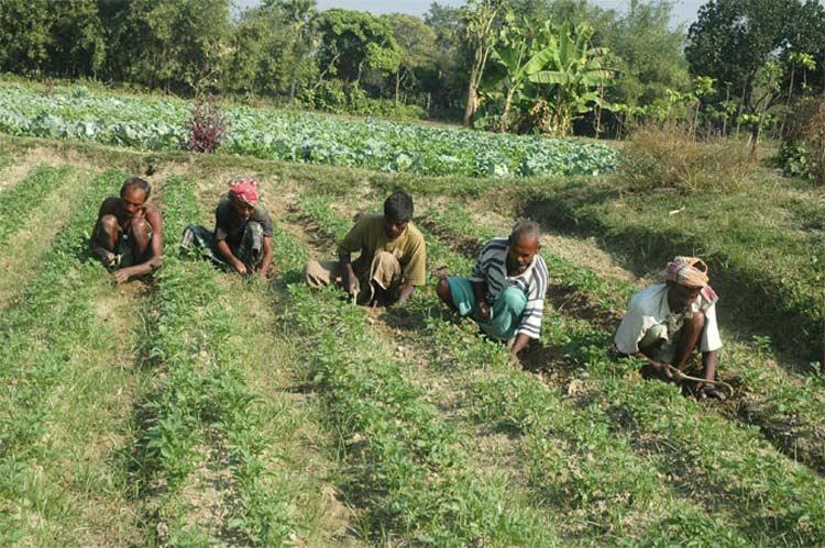 Bangladesh Approving Bt Brinjal